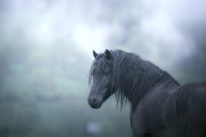 Black stallion profile standing outdoors on a cloudy and stormy day.